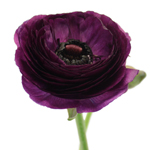Fresh Ranunculus Purple Flower