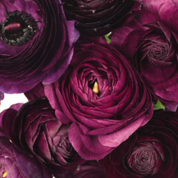 Violet Ranunculus Fresh Cut Flower