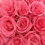 Hot Pink Rose Pavarotti