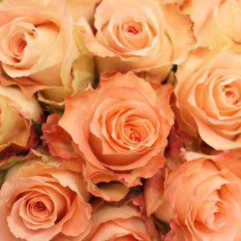 Aubade Antique Unique Peach Rose