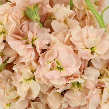 El Aleli Peach Flower