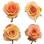 Peach Wholesale Roses
