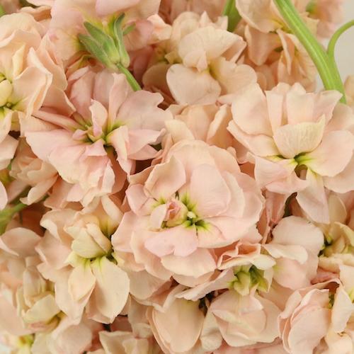 Peach Stock Wholesale Flower Upclose