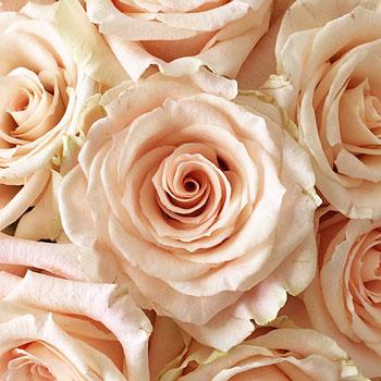 Peaches and Cream Rose