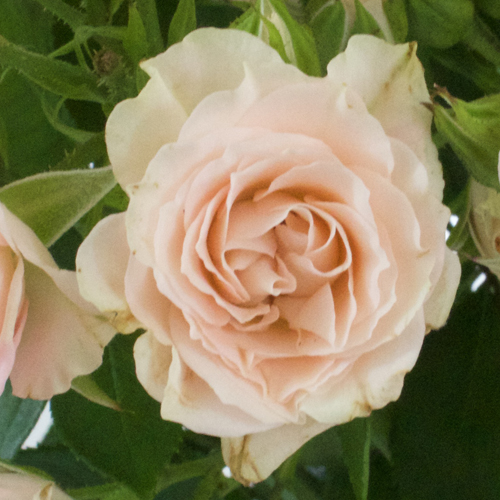 Peachy Keen Spray Wholesale Roses