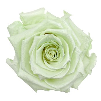 Preserved Pearl Touch Baby Green Rose