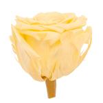 Garden Rose Candlelight Yellow Flower