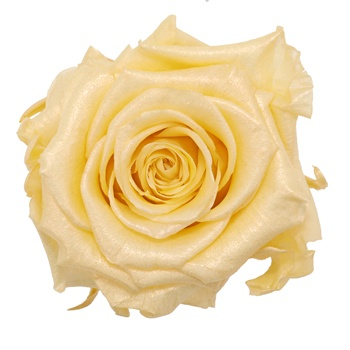 Preserved Pearl Touch Gold Rose