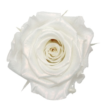 Preserved Pearl Touch Pure White Rose