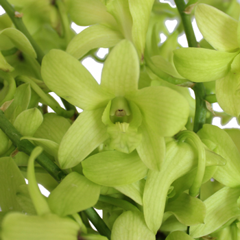 Pearl Green Dendrobium Orchids