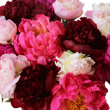 Peony Flowers Mixed Color for May
