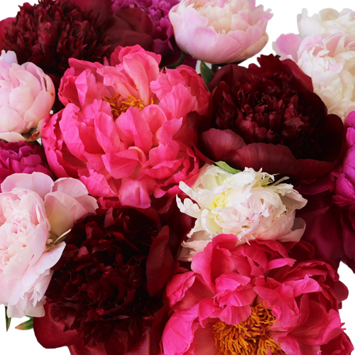 Peonies Flower Mixed Color March Delivery