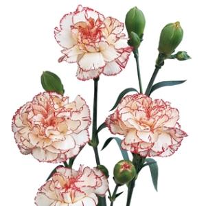 Peppermint Mini Carnation Flowers