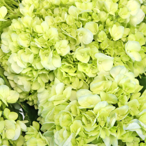 Blue Kissed Green Hydrangea Flower