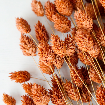 Dried Dark Amber Canary Grass