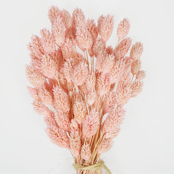 Pink Dried Canary Grass