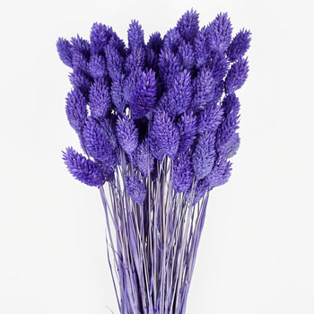 Violet Dried Canary Grass