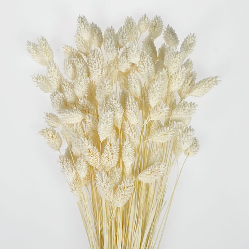 White Dried Canary Grass