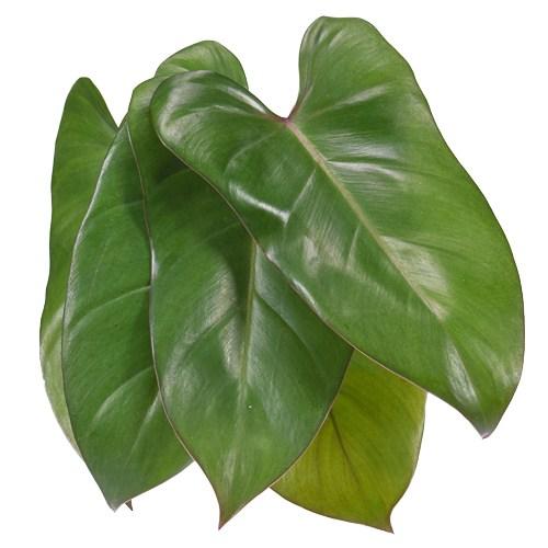 Phiesmeralda Tropical Greens