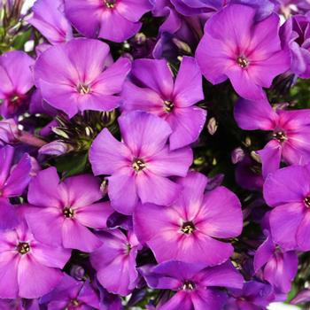 Hypnotic Purple Phlox Flower