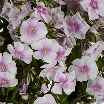 First Kiss Phlox