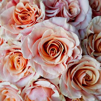 Ruffled Peach Rose