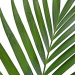 Buy Wholesale Phoenix Palm Leaves