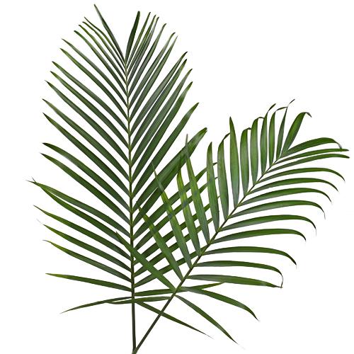 Phoenix Palm Leaves