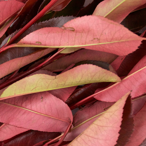 Red Photinia Filler Greenery