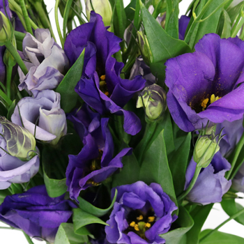 Hues of Purple Single Lisianthus Flower for October to May Delivery