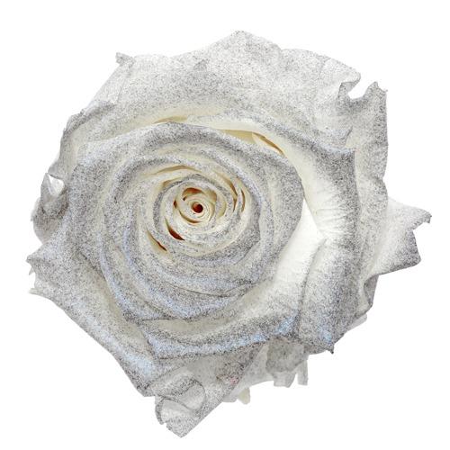 Preserved Pichincha Silver Mist Rose