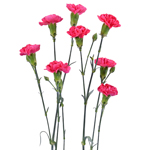 Bulk Hot Pink Mini Carnation Flowers