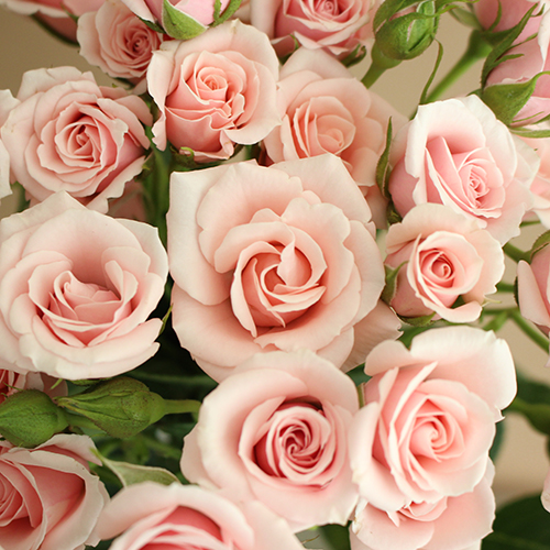 Light Pink Spray Bulk Roses