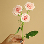 bulk light pink spray roses