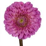 Dahlia Flower Pink Lavender