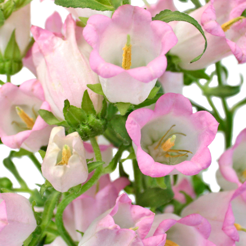 Campanulas Pink Flower