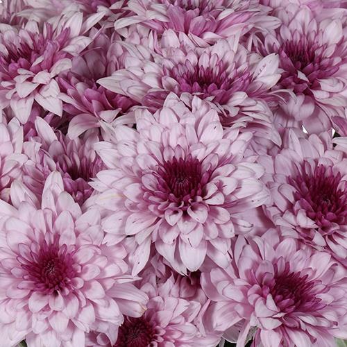 Sugar Plum Fairy Cushion Flower