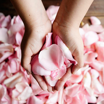 Light Pink Rose Petals