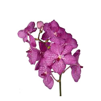 Vanda Orchids Pink Magic