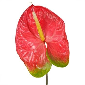 Anthurium Watermelon Obake Flower