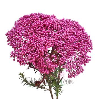 Tinted Pink Rice Flower