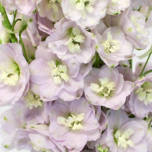 Pink River Designer Delphinium Flower