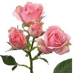 bulk pink spray roses