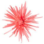 Pink Coral Reef Airbrushed Spider Mum