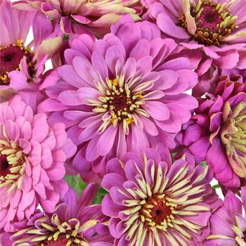 Shades of Berry Zinnia Flower
