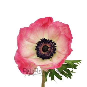 Pink Fresh Cut Anemone Flower