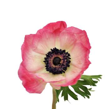 Designer Pink Fresh Cut Anemone Flower
