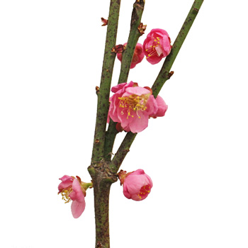 Blooming Pink Apricot Blossom Branches