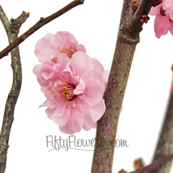 Blooming Pink Plum Blossom Branches