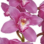 Hot Pink Cymbidium Bulk Orchid Flower